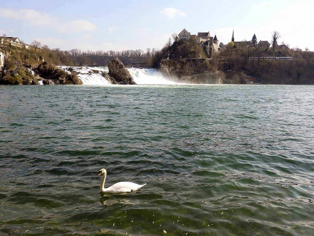 switzerland-rhine-falls-swan.jpg