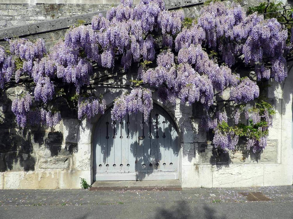 switzerland-geneva-spring-wisteria.JPG