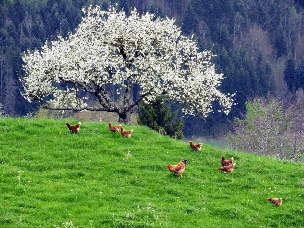 switzerland-grureyes-spring-chickens.jpg