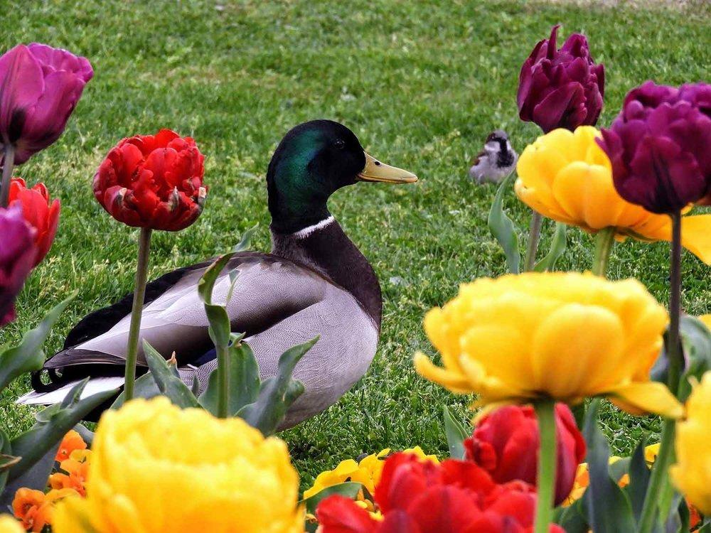 switzerland-luassane-duck.jpg