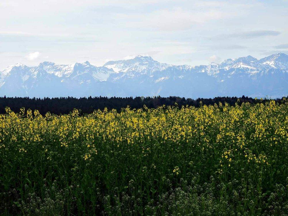 switzerland-montruex-rapseed-flowers-field.jpg