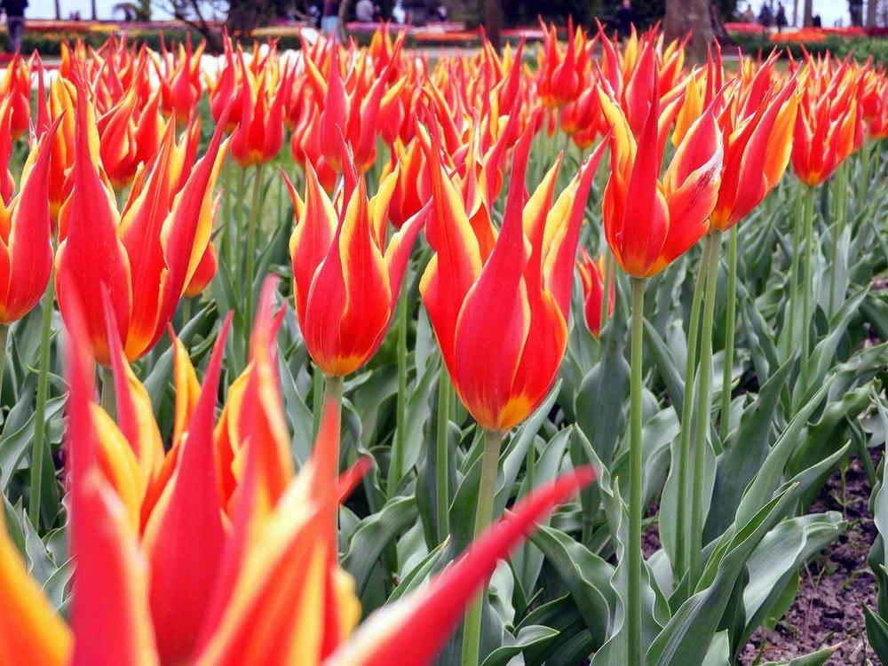 switzerland-luassane-morges-tulip-festival-red-yellow.jpg