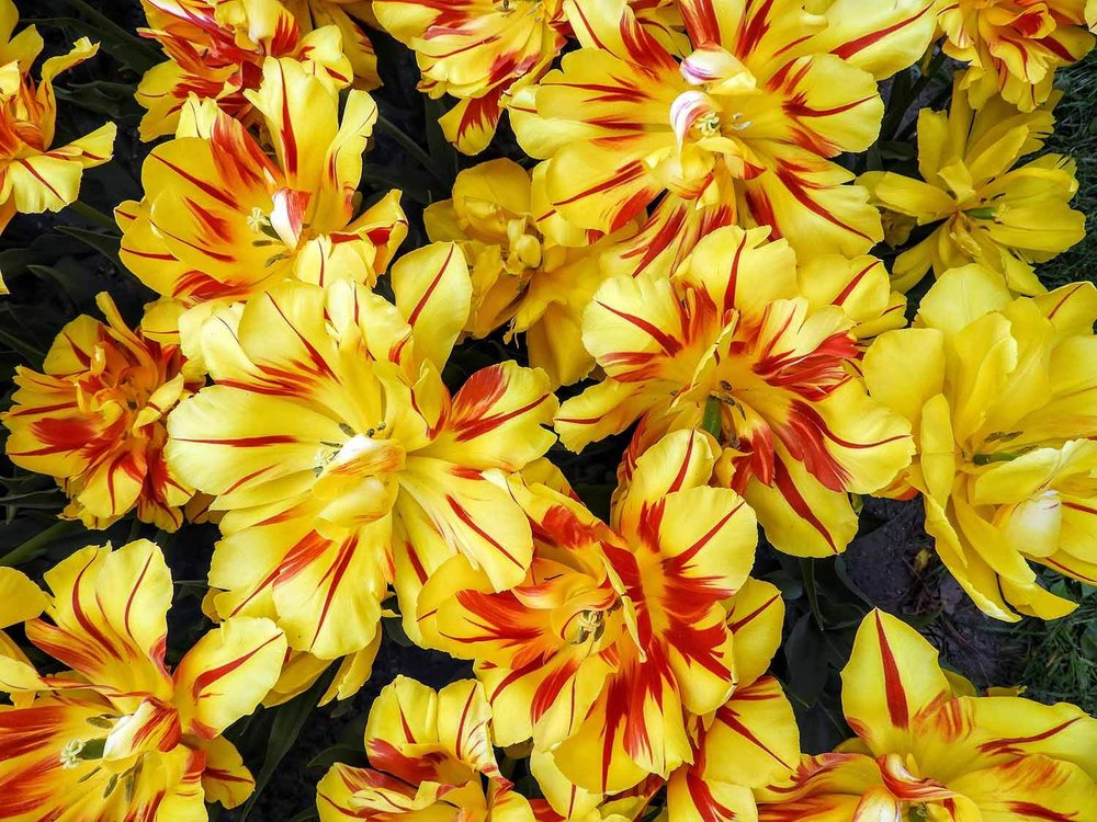 switzerland-luassane-morges-tulip-festival-yellow.jpg
