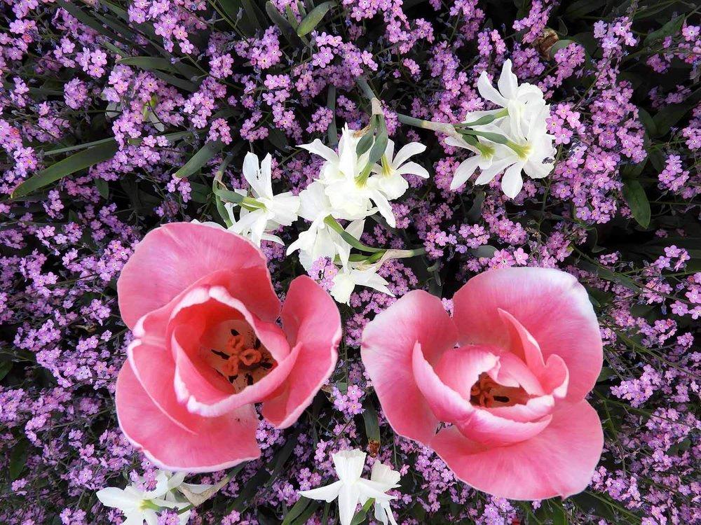 switzerland-luassane-pink-purple-tulips.JPG