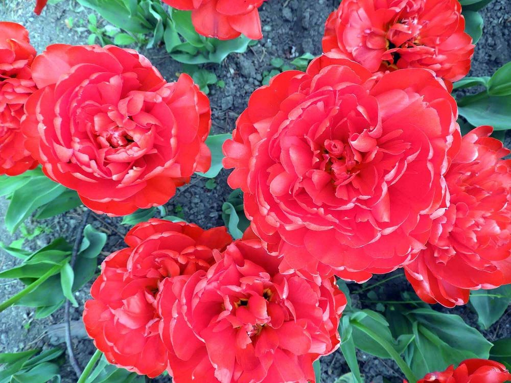 switzerland-luassane-red-bulbs-spring.jpg