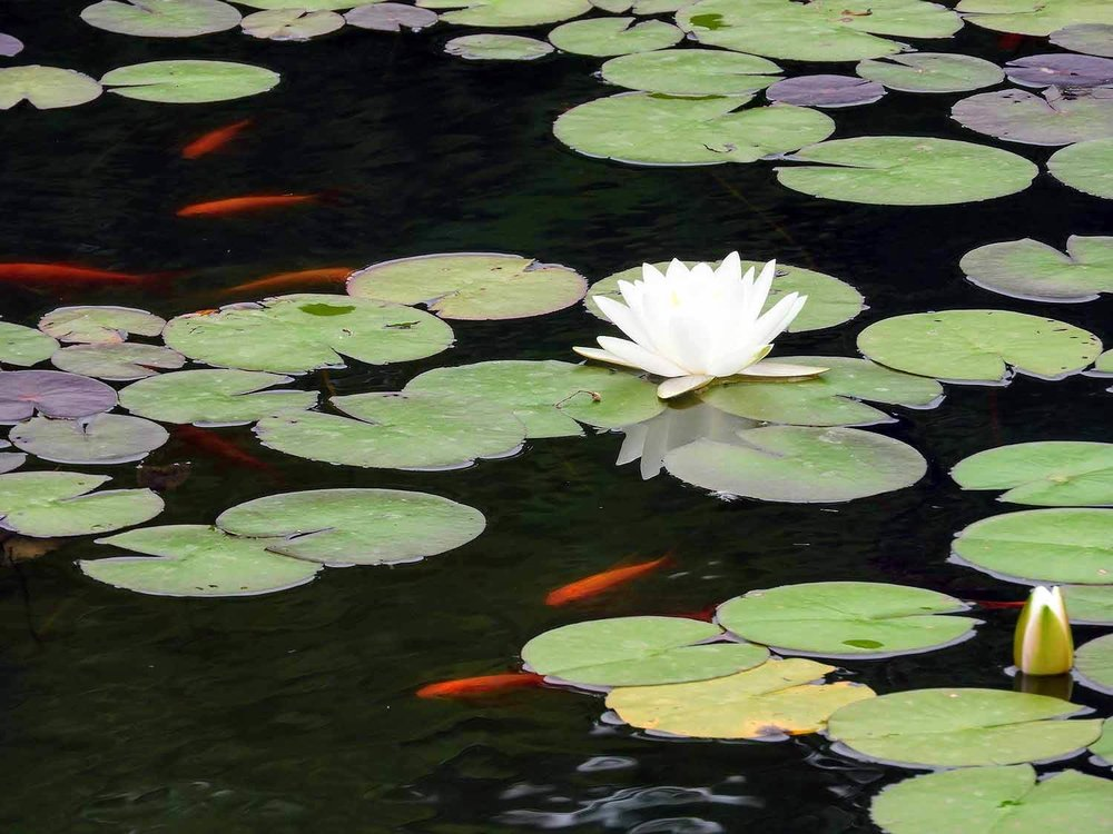 germany-rastatt-residenceschloss-palace-water-lillies-gold-fish.jpg