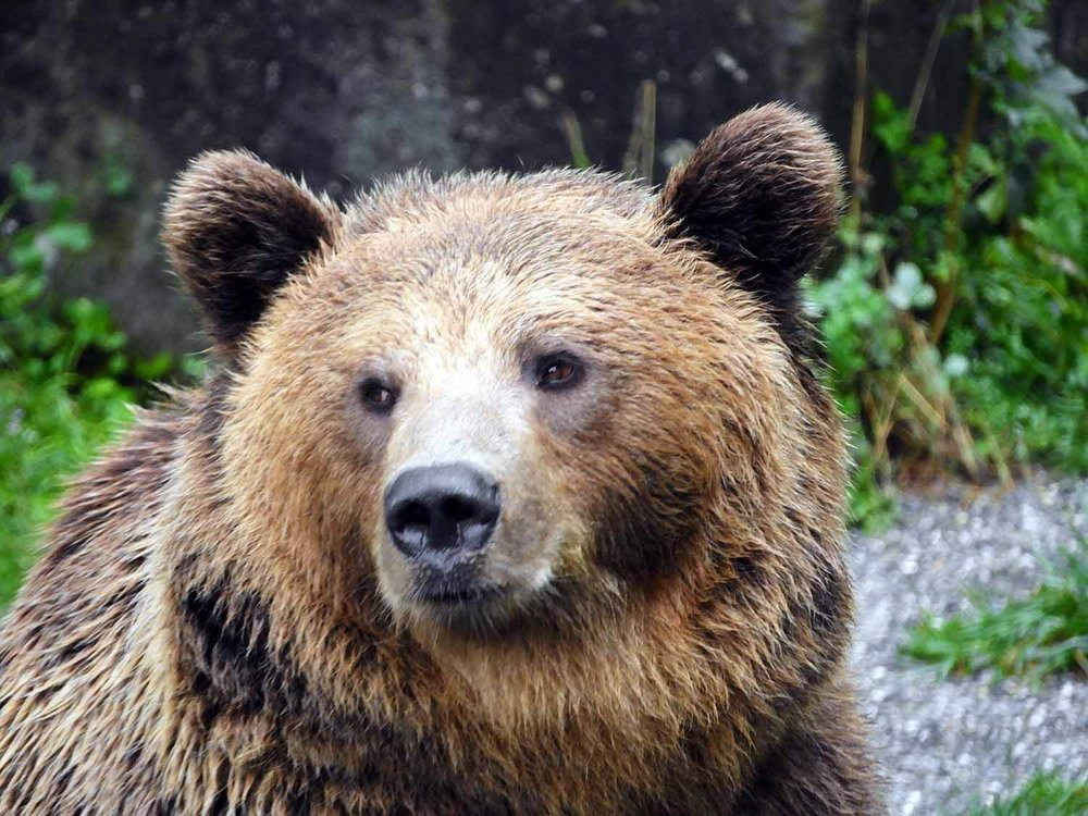 switzerland-bern-brown-bear-up-close.jpg
