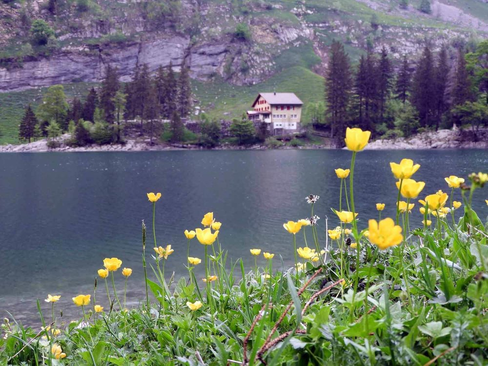 switzerland-ebenalp-seealpsee-alpine-wildflowers.JPG