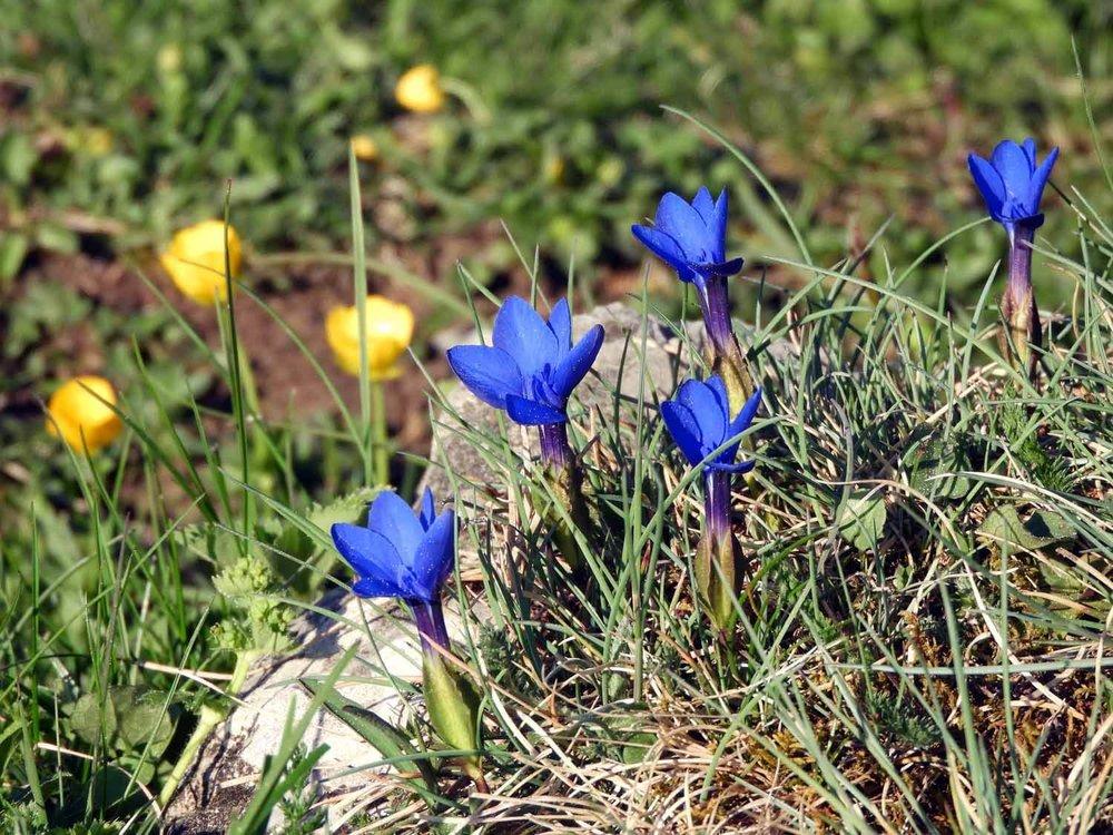 switzerland-ebenalp-seealpsee-spring-flowers-alpine-spring-gentians.JPG