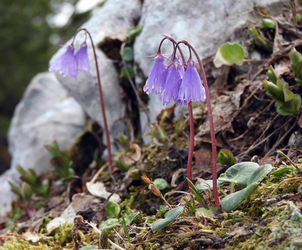 germany-eagles-nest-berchtesgaden-harebells-campanula-rotundifolia.JPG
