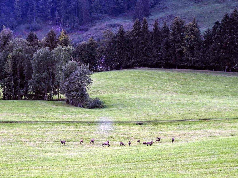 switzerland-gurnigel-pass-herd-chamois-gamswild.jpg