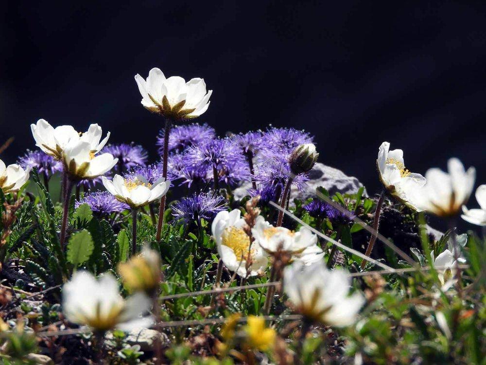 switzerland-cruex-du-van-spring-flowers-purple-yellow.JPG
