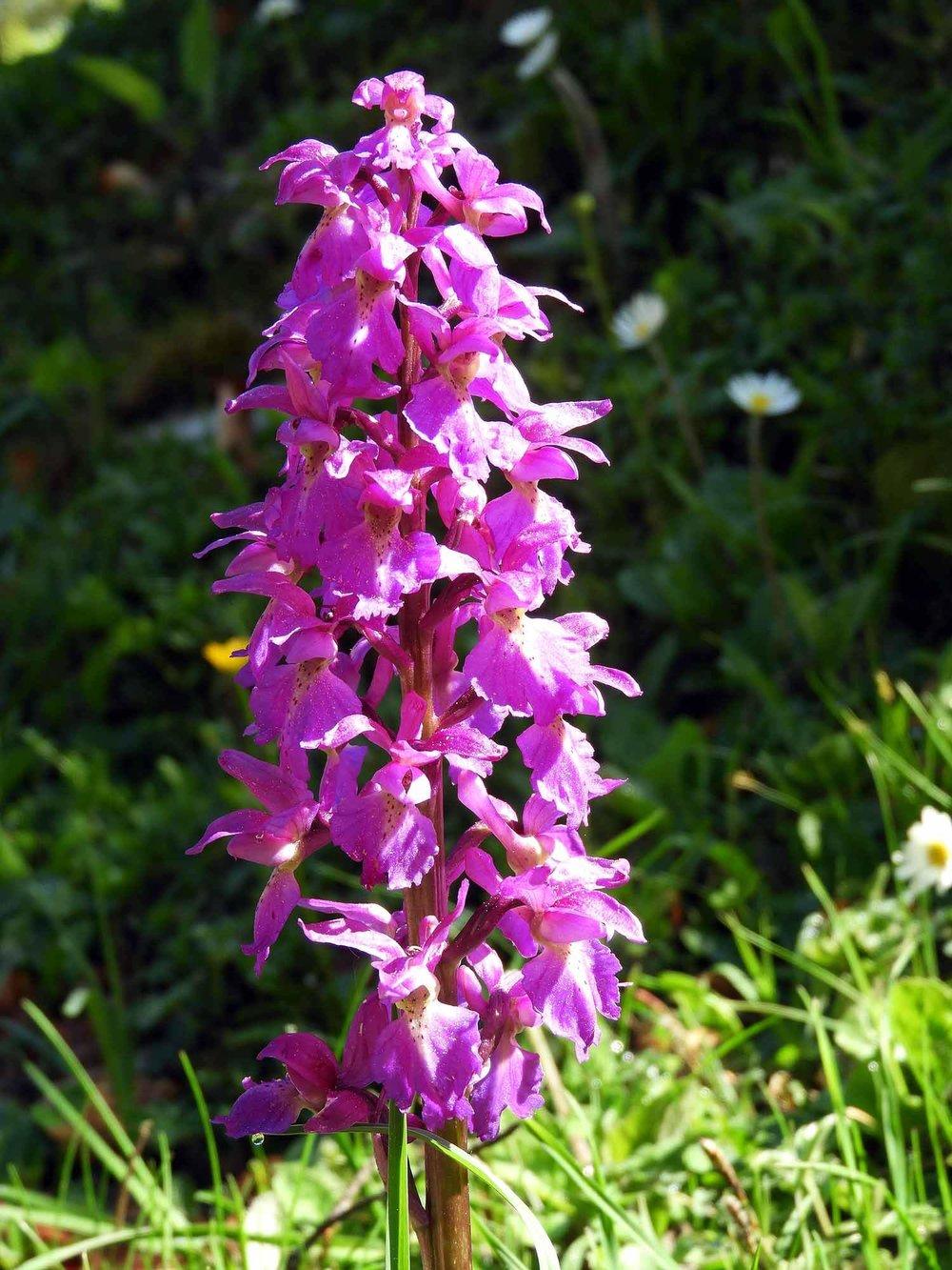 switzerland-cruex-du-van-purple-wildflowers.JPG