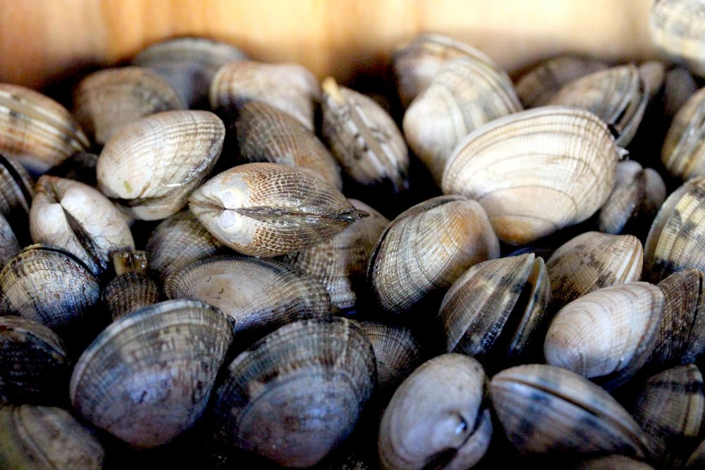 Fresh Palorde clams