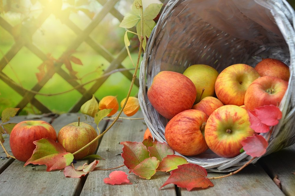 apples in season in autumn
