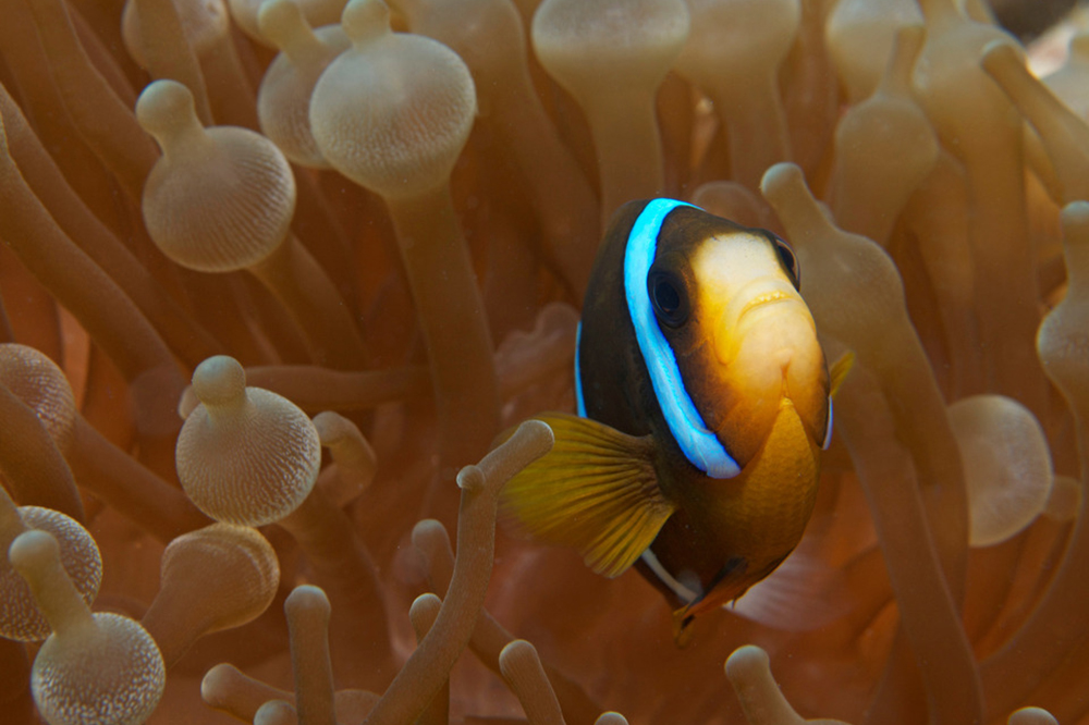 healthy Anemone with Clownfish credit: JAYNE JENKINS