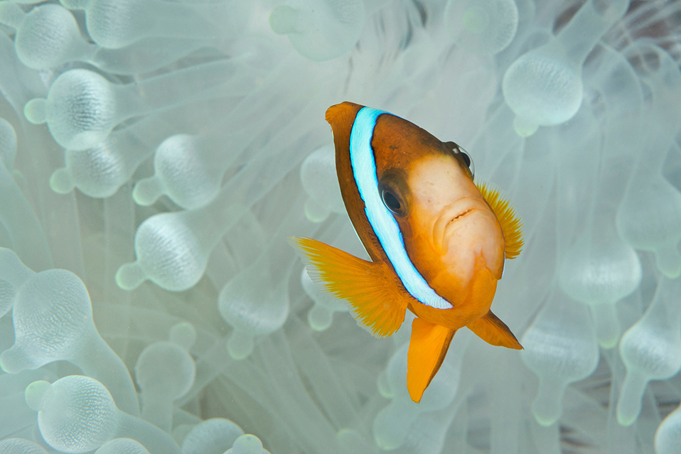 Bleaching Anemone with Clownfish credit: JAYNE JENKINS / coral reef image bank