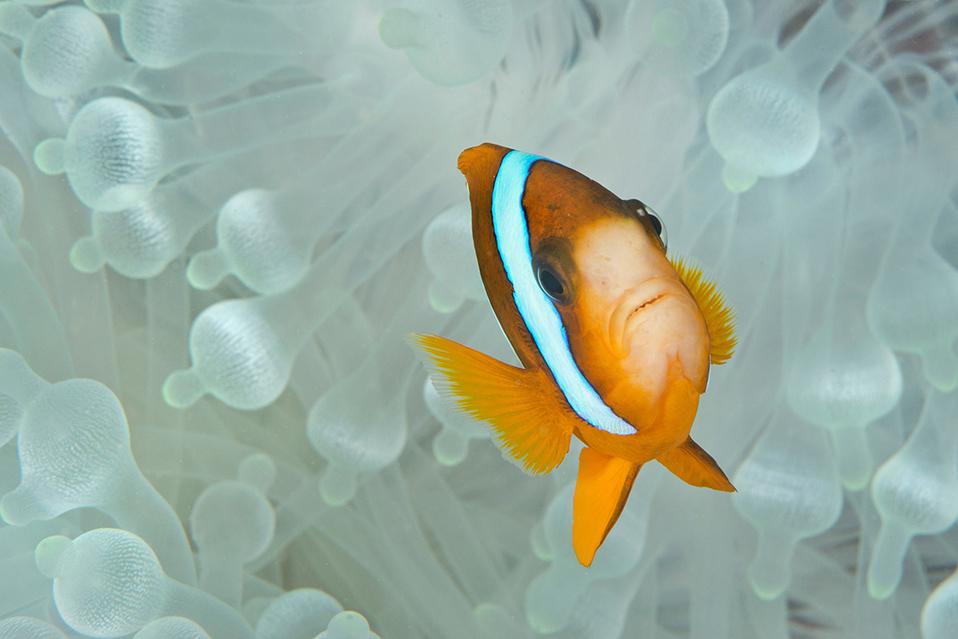 download   -Bleaching Anemone with Clownfish credit: JAYNE JENKINS