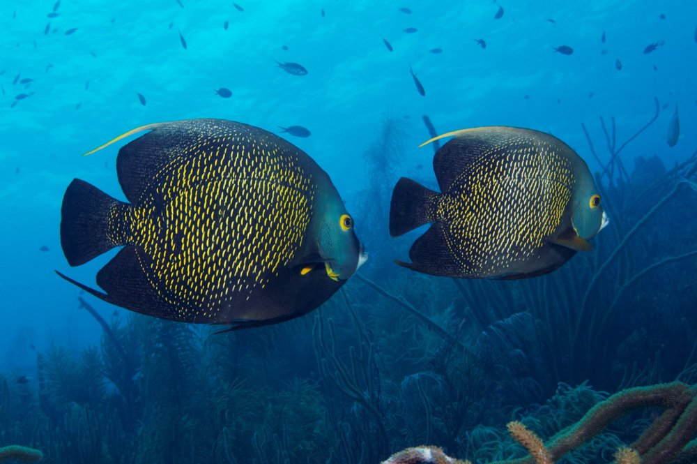 french angelfish CREDIT: THE OCEAN AGENCY/ coral reef image bank