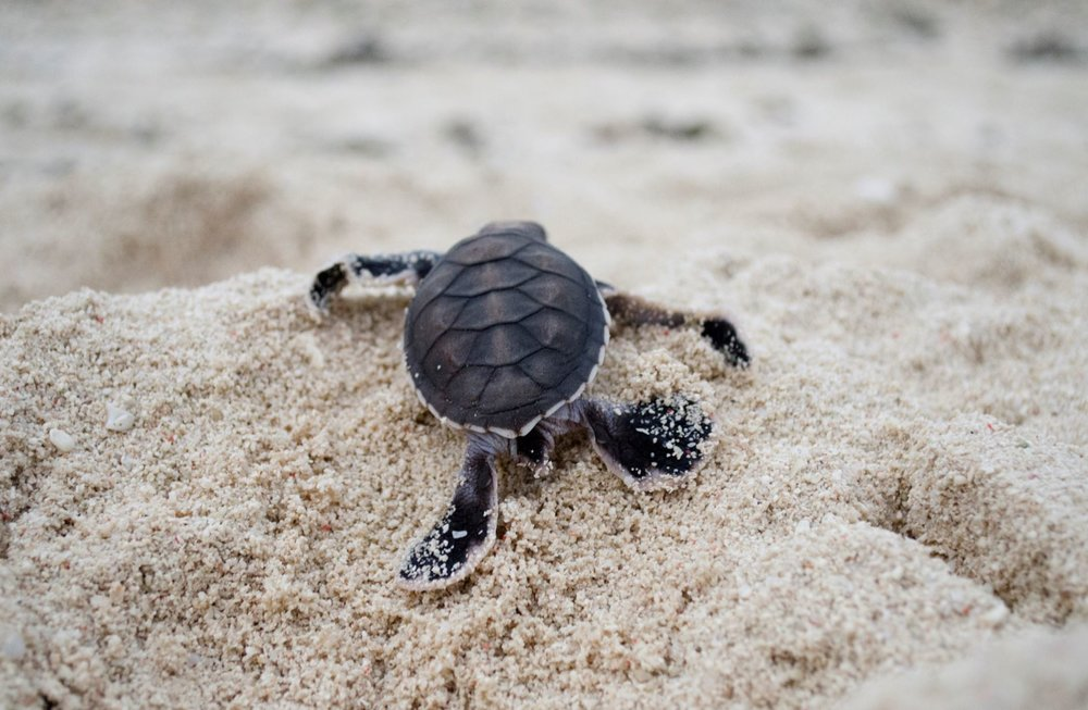 DOWNLOAD   - turtle hatchling, NEW caledonia cREDIT: the ocean agency