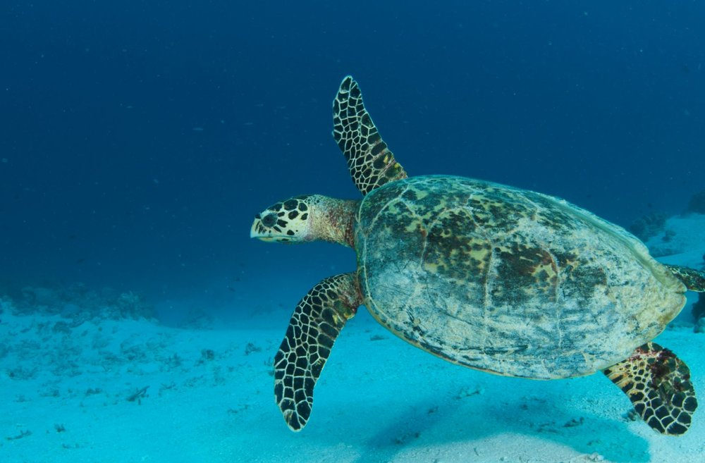 DOWNLOAD   - turtle, GREAT BARRIER REEF CREDIT: jayne jenkins