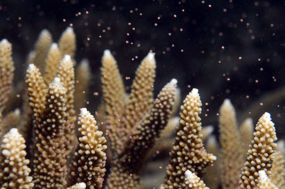 DOWNLOAD   - CORAL SPAWNING, STAGHORN CORAL credit: JAYNE JENKINS