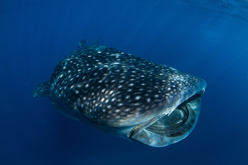 download   - whale shark credit: THE OCEAN AGENCY / XL CATLIN SEAVIEW SURVEY