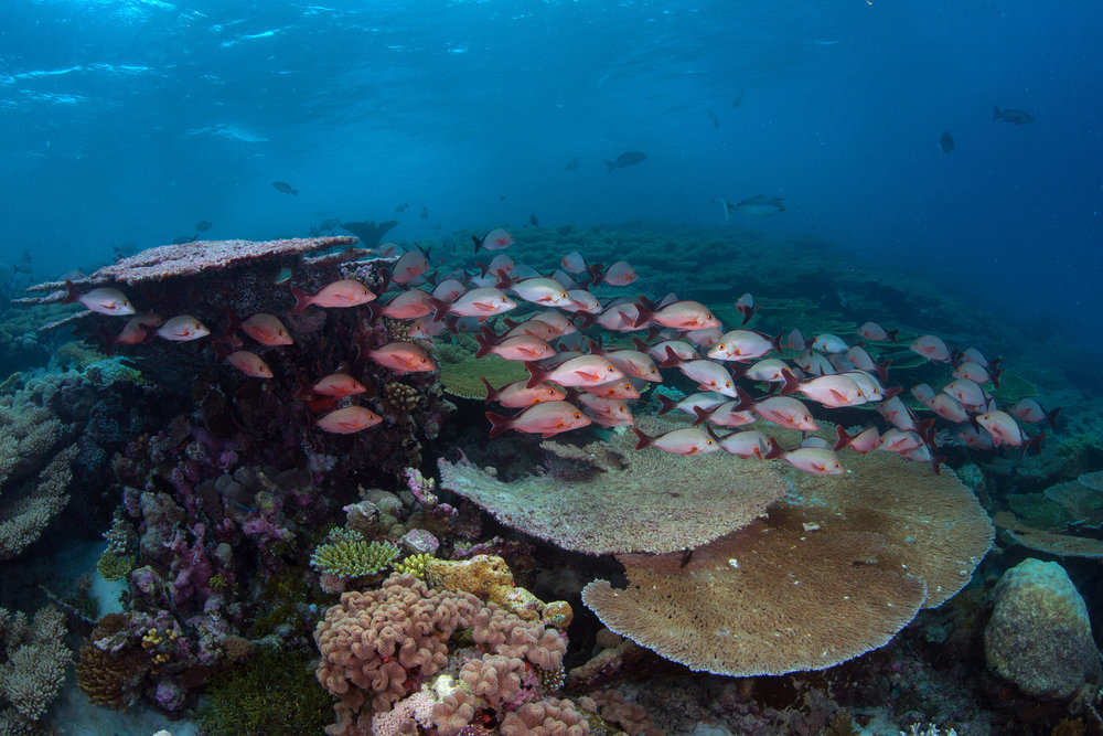 coral reef, chagos Credit: THE OCEAN AGENCY