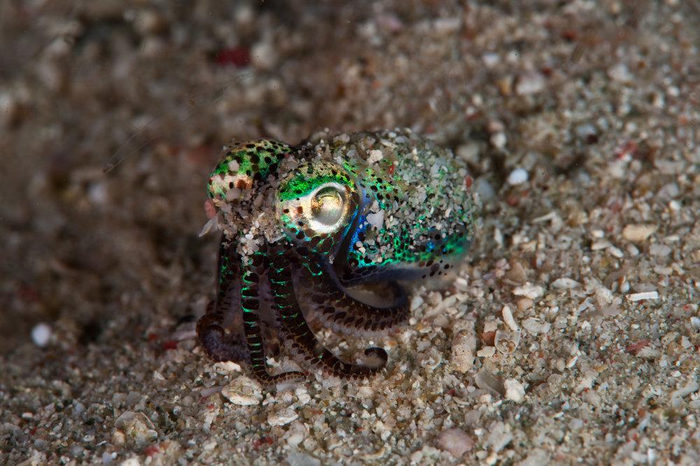 bobtail squid credit: JAYNE JENKINS/ coral reef image bank