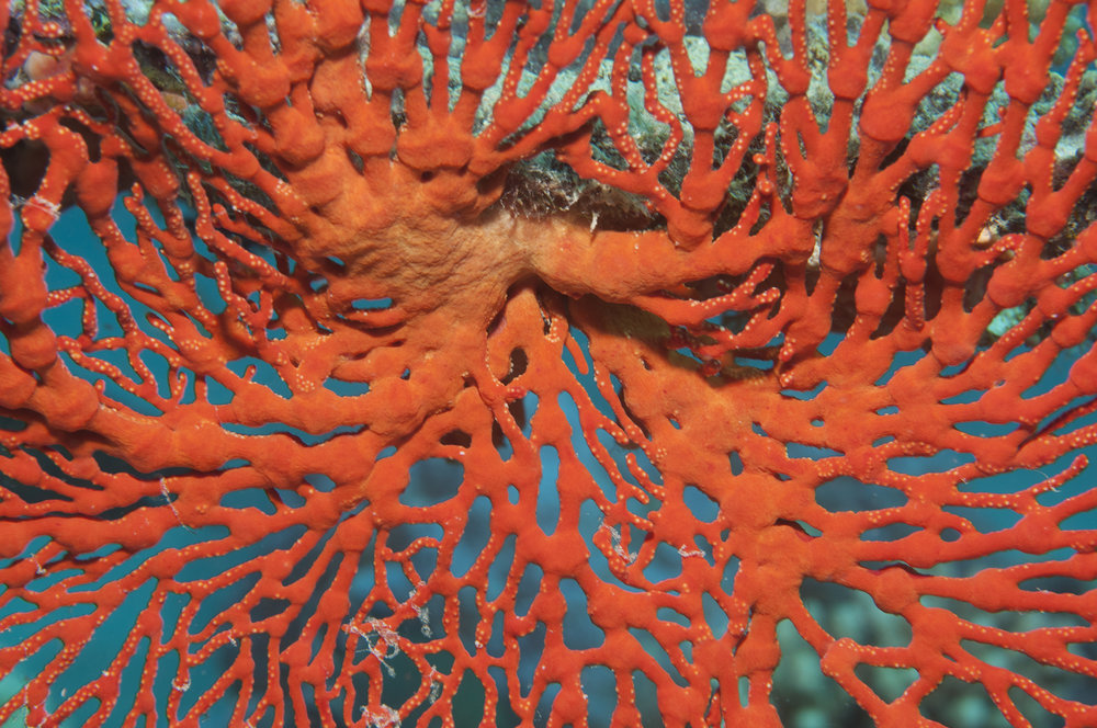 DOWNLOAD   - sea fan credit: JAYNE JENKINS