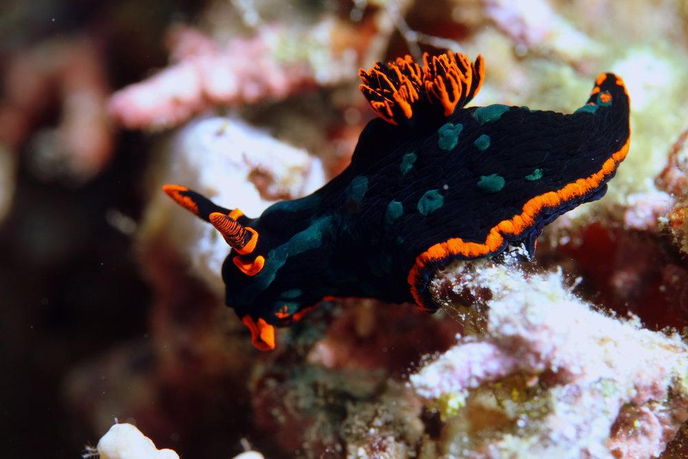 NUDIBRANCH credit: JAYNE JENKINS / coral reef image bank