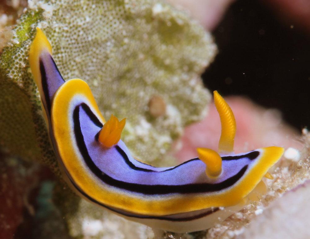 SEA SLUG credit: JAYNE JENKINS/ coral reef image bank