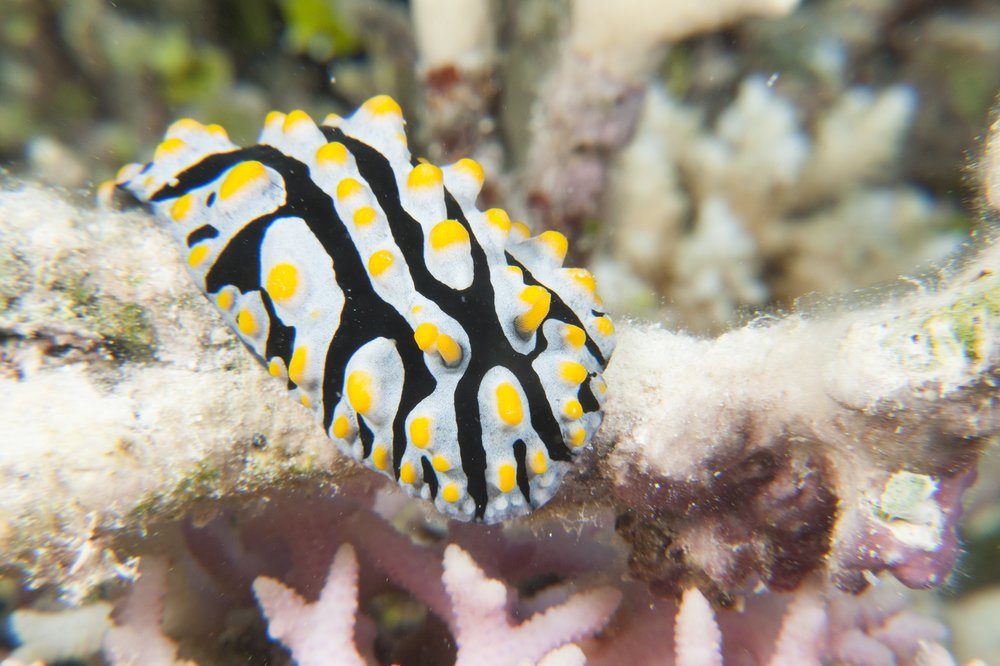 DOWNLOAD   - NUDIBRANCH credit: JAYNE JENKINS