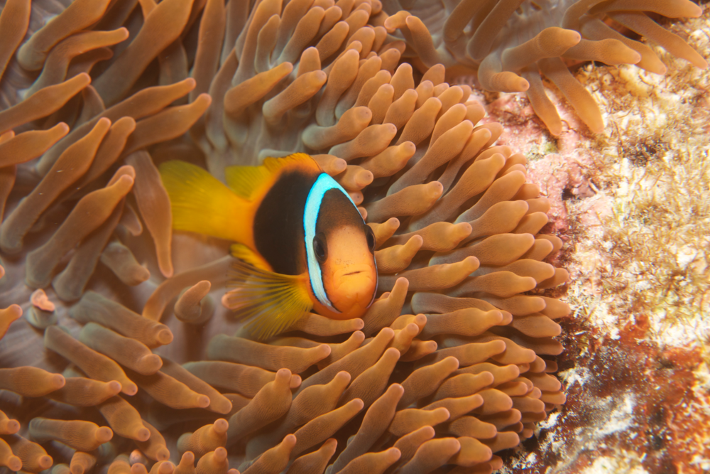 DOWNLOAD   - clown fish in anemone, gbr CREDIT: THE OCEAN AGENCY