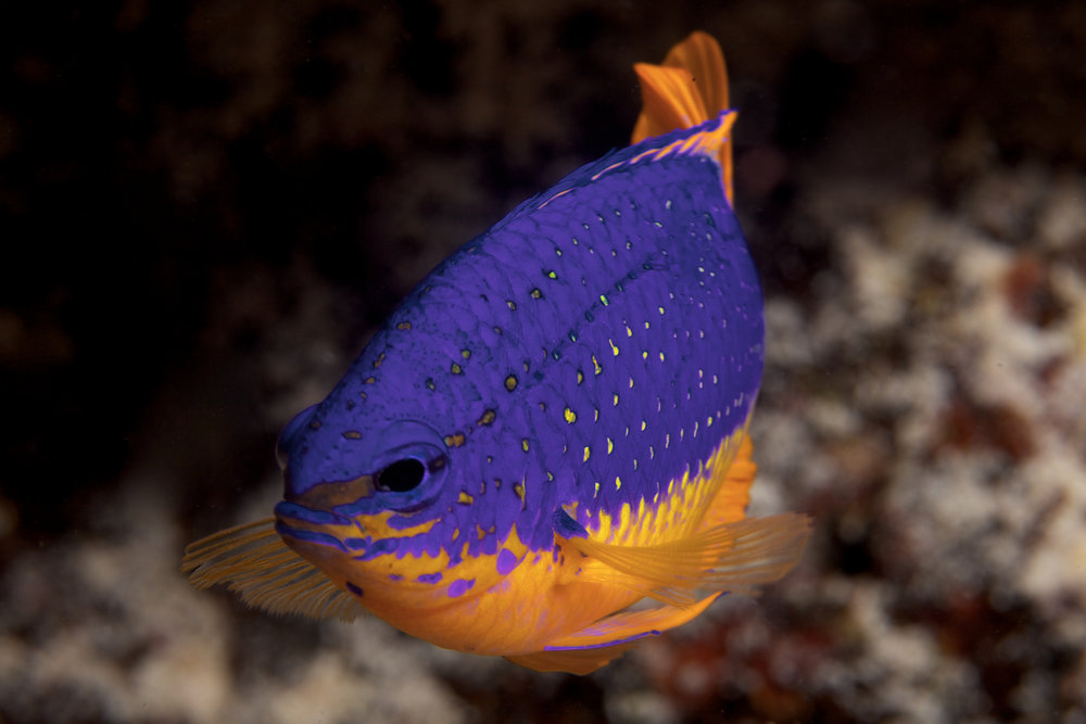 download   - damselfish CREDIT: the ocean agency