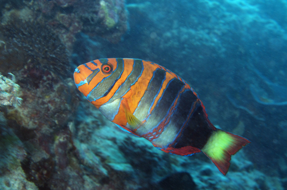 download   -  parrotfish CREDIT: the ocean agency
