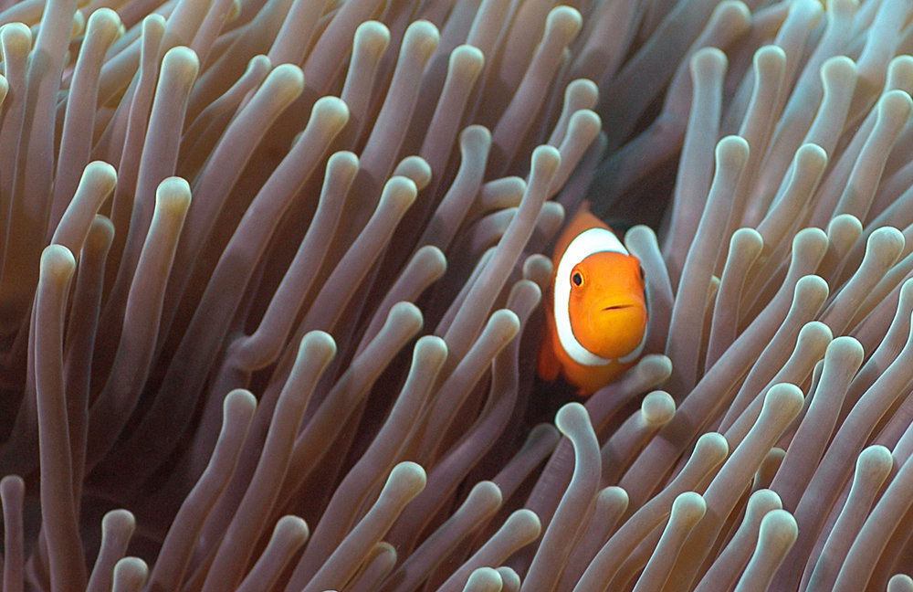 download   - clownfish in anemone CREDIT: the ocean agency