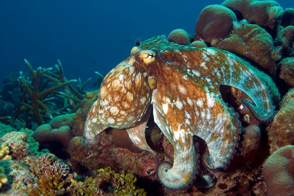 DOWNLOAD   -  octopus CREDIT: the ocean agency