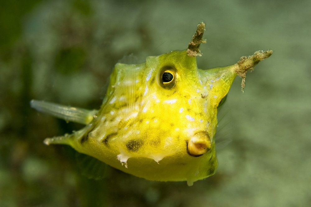 download   - cow fish CREDIT: the ocean agency