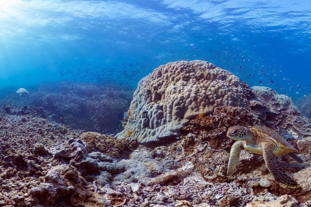 DOWNLOAD   - HERON ISLAND, australia Credit: THE OCEAN AGENCY / XL CATLIN SEAVIEW SURVEY