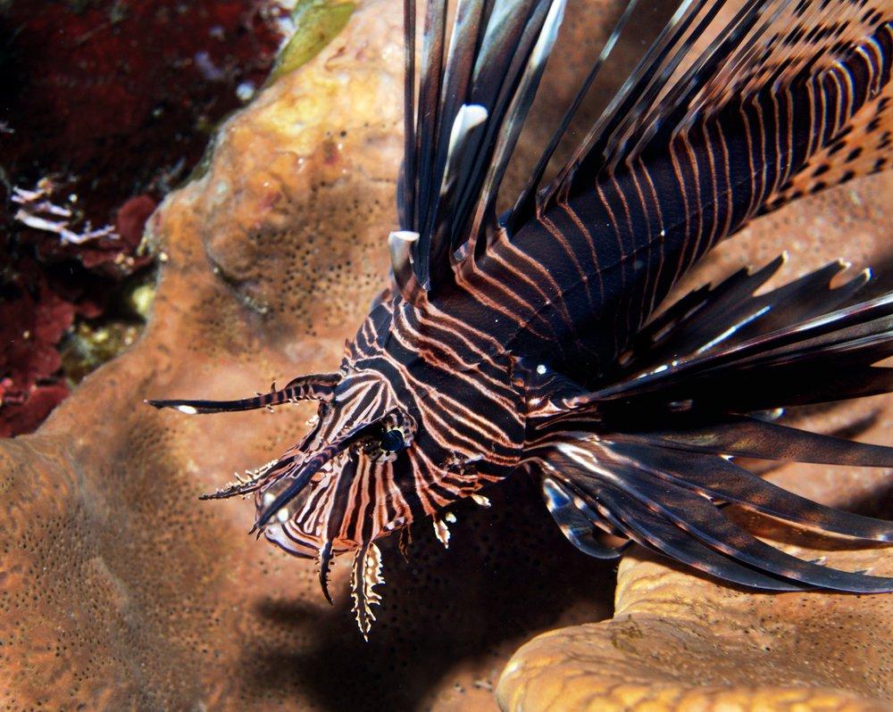 LIONFISH CREDIT: Ellen Cuylaerts / coral reef image bank