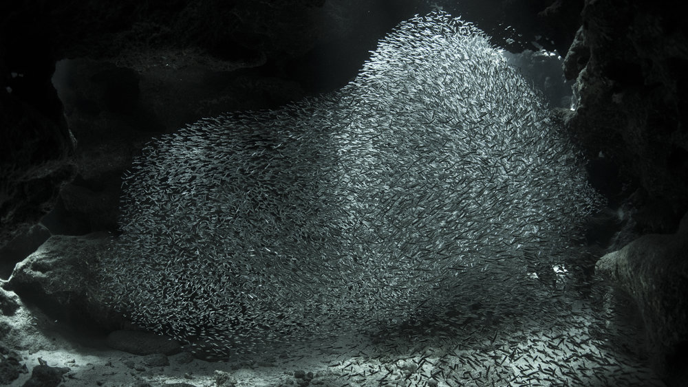 DOWNLOAD   - - Silversides Devil's Grotto, Grand Cayman CREDIT: Ellen Cuylaerts