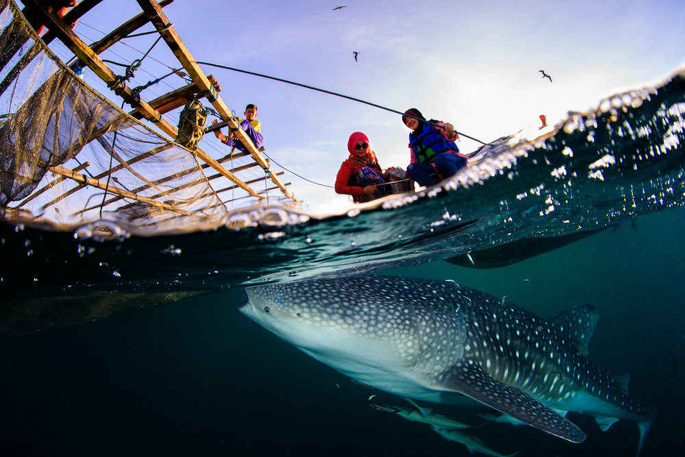 LOCALS WITH WHALE SHARK, Derawan, Indonesia CREDIT: YEN-YI LEE