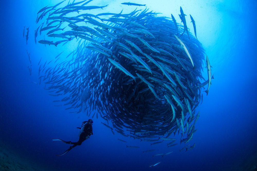 DOWNLOAD   - A SCHOOL OF BARRACUDA IN MARATUA, INDONESIA CREDIT: YEN-Yi LEE