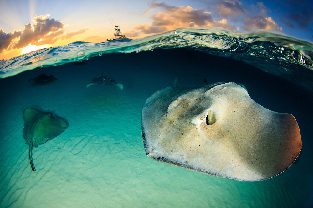 DOWNLOAD   - STINGRAYS IN STINGRAY CITY, GRAND CAYMAN CREDIT: YEN-YI LEE