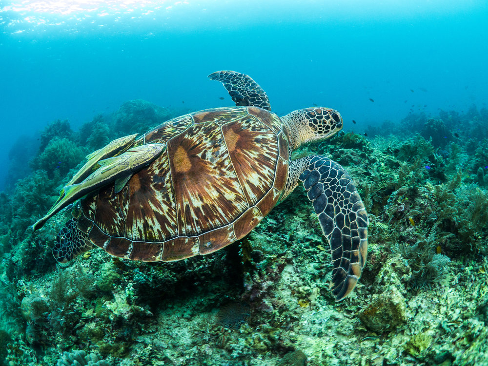 DOWNLOAD   - Green turtle in the philippines CREDIT: SIMON J. PIERCE