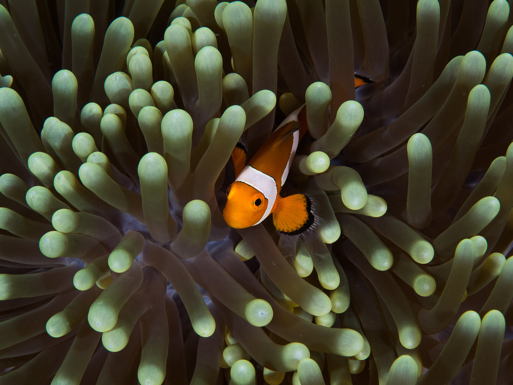 CLOWNFISH IN Mabul Island, Sabah, Malaysia Credit: SIMON J. PIERCE / coral reef image bank
