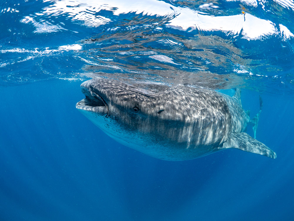 DOWNLOAD   -  whaleshark in Isla Mujeres, Mexico CREDIT: SIMON J. PIERCE