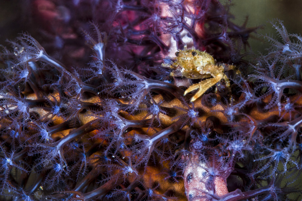 DOWNLOAD   - SOFT coral CRAB Credit: David P. Robinson