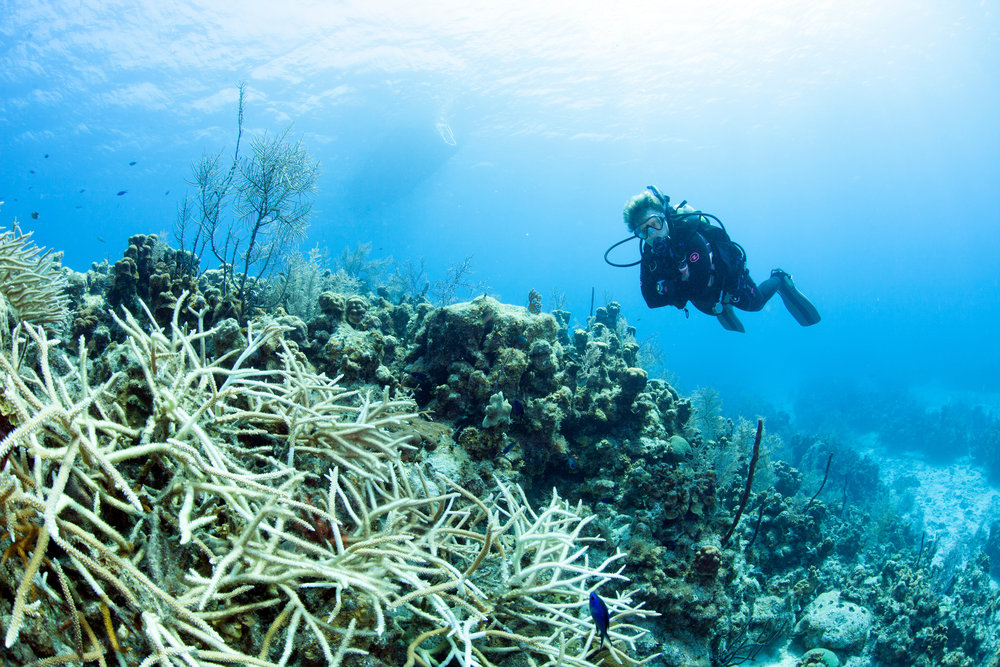 DOWNLOAD   - BLEACHED staghorn coral, Grand Cayman CREDIT: Jill heinerth, IntoThePlanet.com